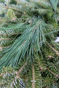Auld Lang Pine