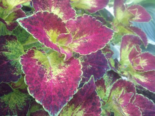 Captivating Coleus