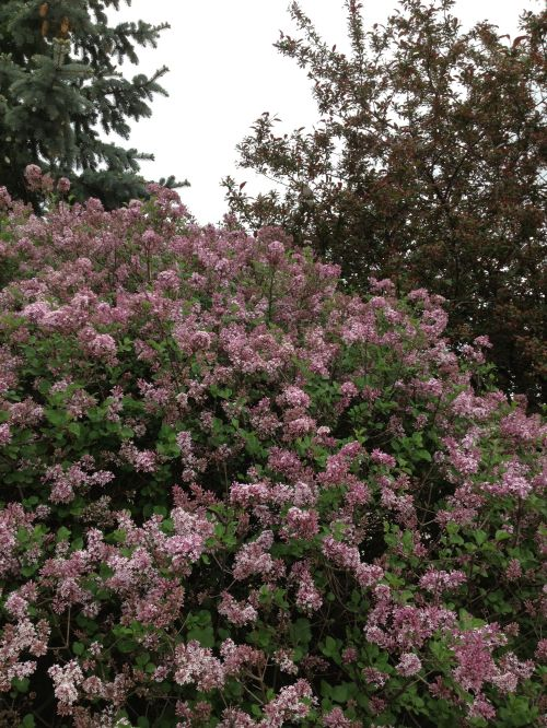 What would May be without the aroma of Lilacs?