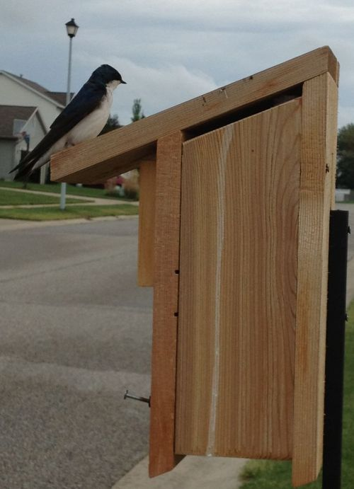 "Had a talk with my tree swallow friend as the day ended....it was a real bird ""tale"""