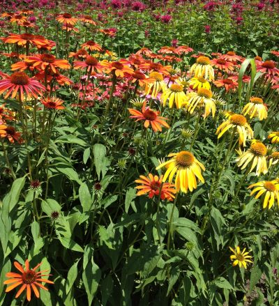 Colorful Coneflowers!