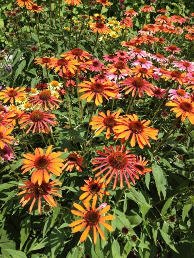 Echinacea adds color to a hot summer landscape