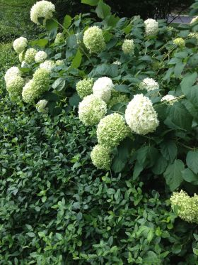 Annabelle Hydrangeas nod in the summer breeze