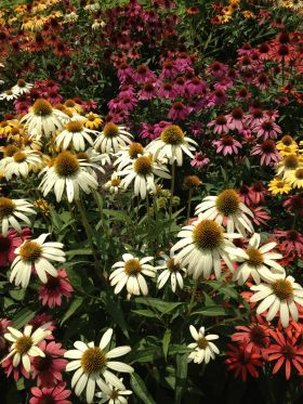 Echinacea provides long lasting summer color