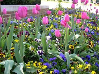 These fall planted Pansies are reblooming in spring with the Pink Tulips that were planted at the same time.